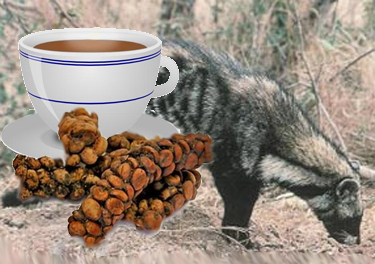 Kopi Luwak the worlds most expensive coffee 16