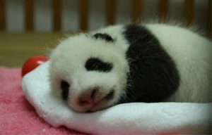 Titoni's Cooperation with Chengdu Giant Panda Breeding Research Foundation continued.