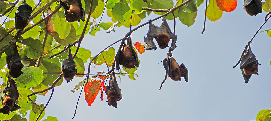 The colony of fruit bats on Pangkor Laut