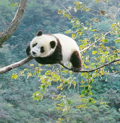 Singapore Airlines is the Official Airline for the giant panda collaborative programme between Wildlife Reserves Singapore, parent company of the River Safari, and the China Wildlife Conservation Association. Image (C) China Wildlife Conservation Association