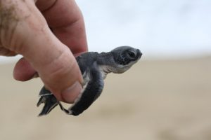 """""""There has been a strong effort to educate the villagers to protect and conserve these endangered animals. We wanted to do our part to shelter the turtle eggs and play a big role in helping to regenerate the population in Indonesia"""", commented Craig Seaward, general manager of the W Retreat Bali."""