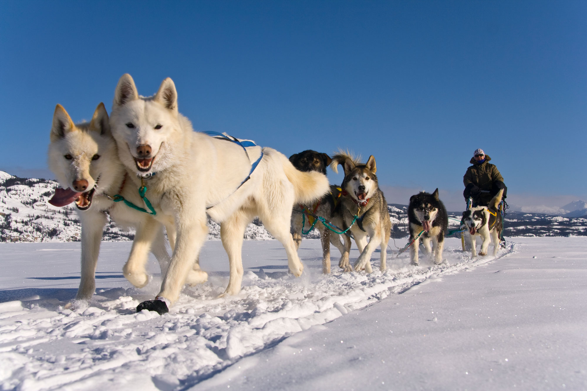 Dog-Sledding in the Yukon