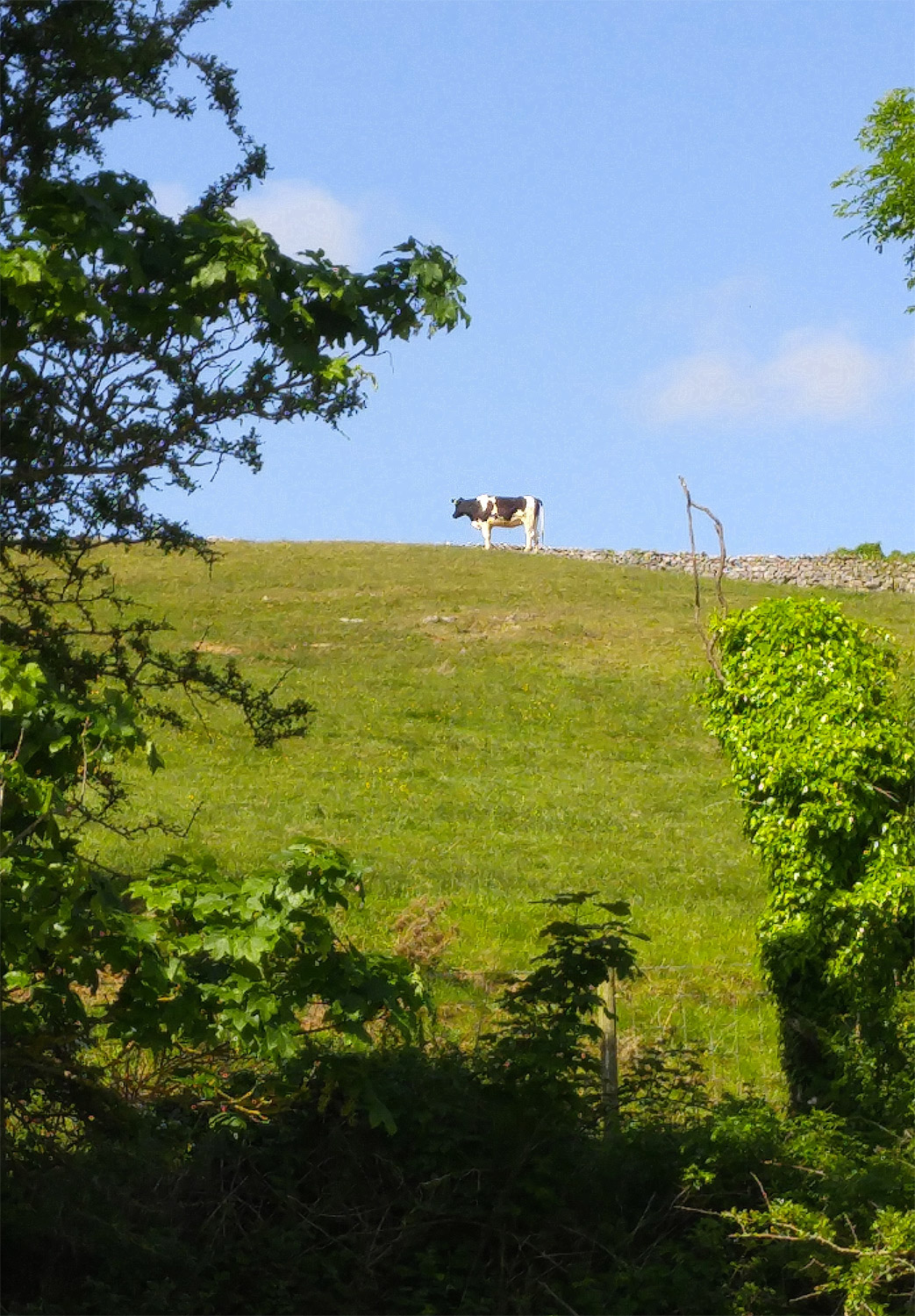 A lone black and white cow atop one of the hills in Silverdale