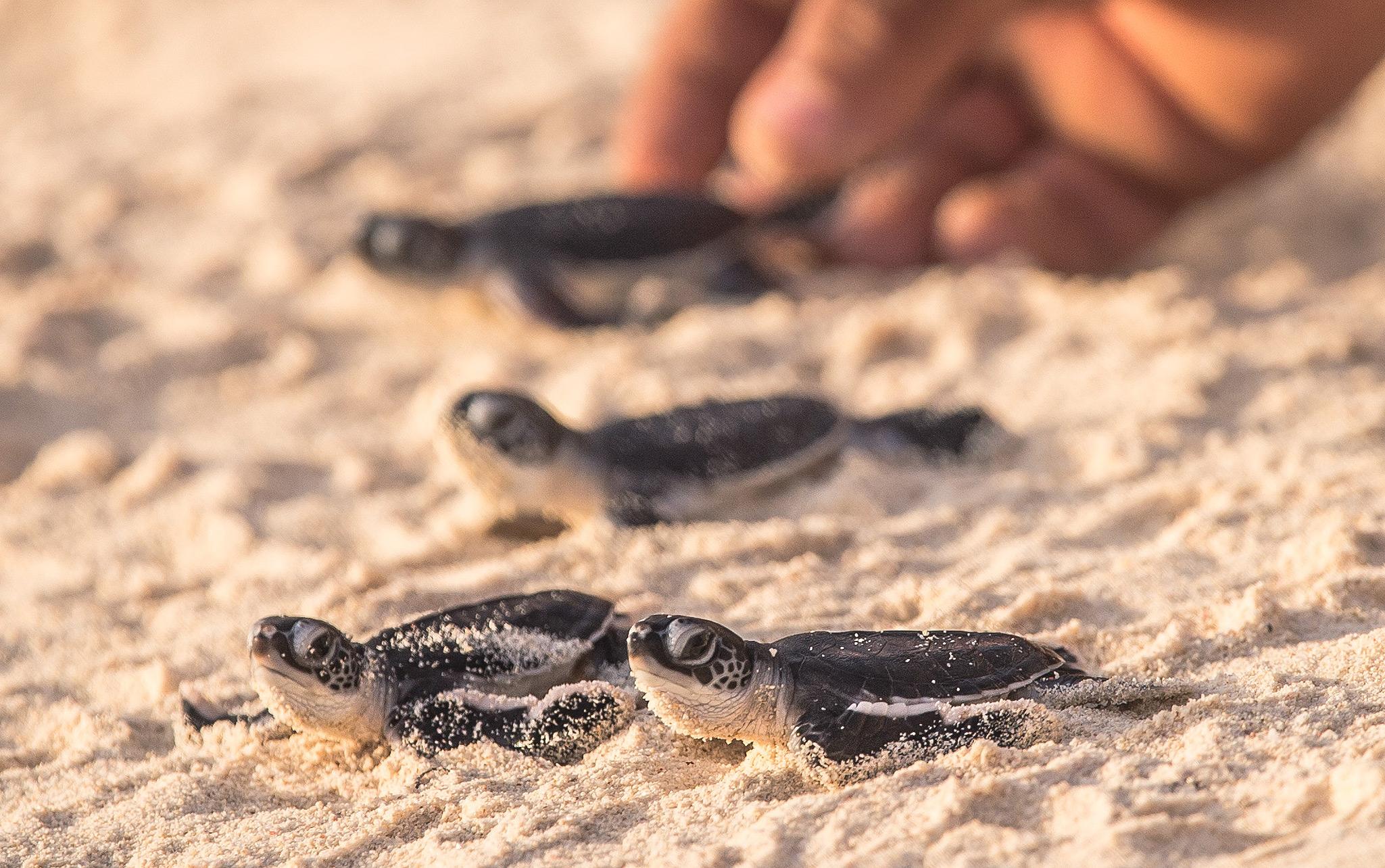 Seychelles-baby-turtles