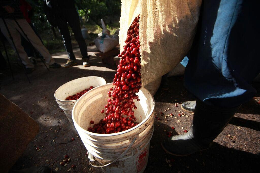 Esmeralda Geisha Canas Verdes Natural – The Most Expensive Coffee in the World 6