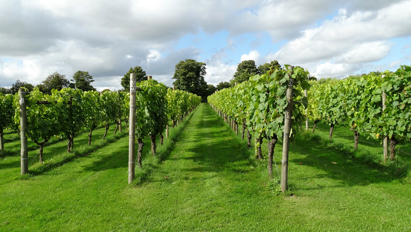 Grape vines growing at Danebury Vineyard in Hampshire