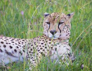 A Once-In-A-Lifetime Experience At Fairmont Mara Safari Club 6