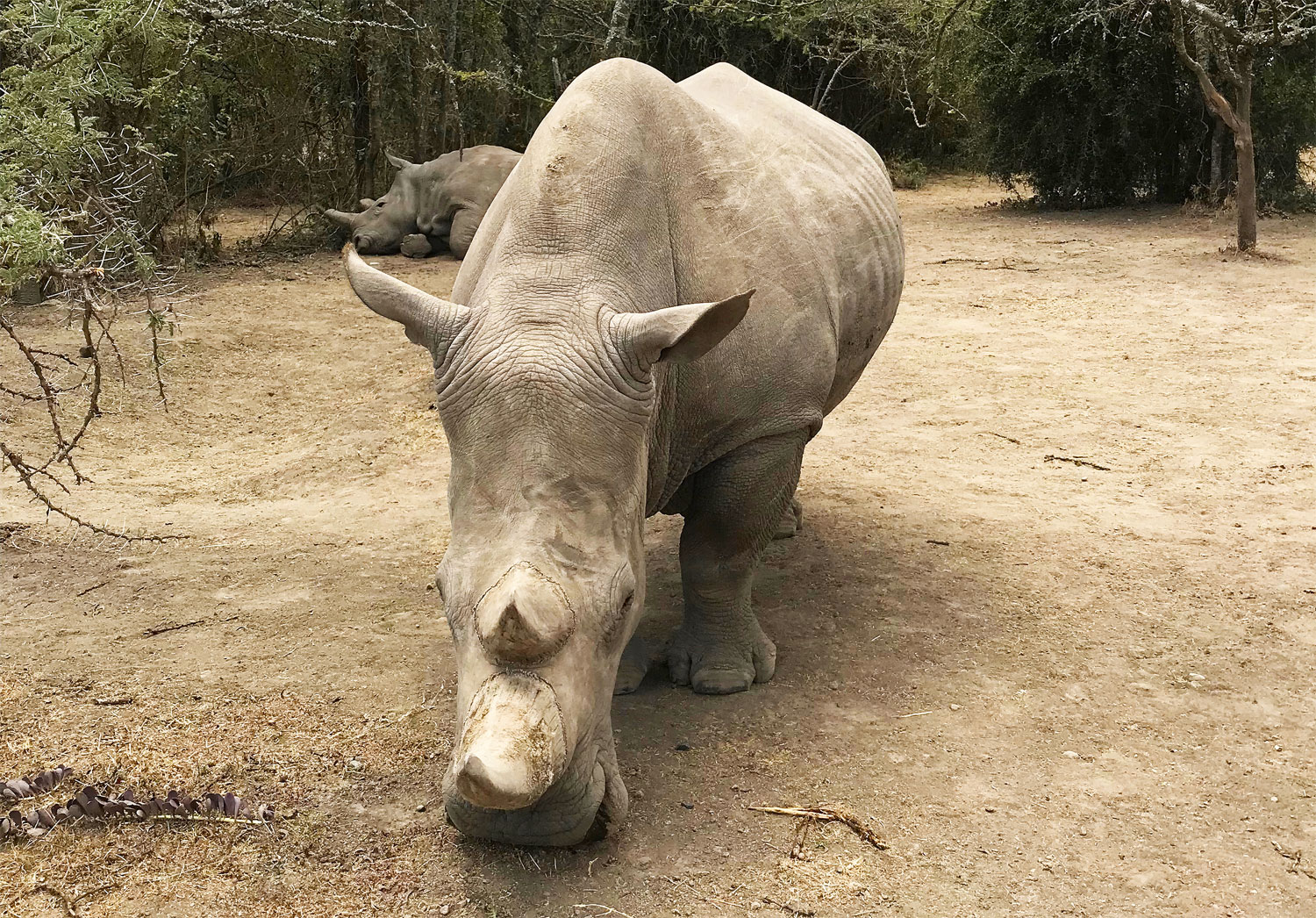 Photograph showing two rhinos