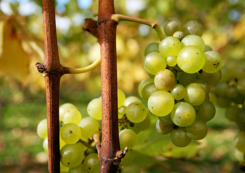 Greyfriars Vineyard to launch Cuvée Royale English Sparkling Wine
