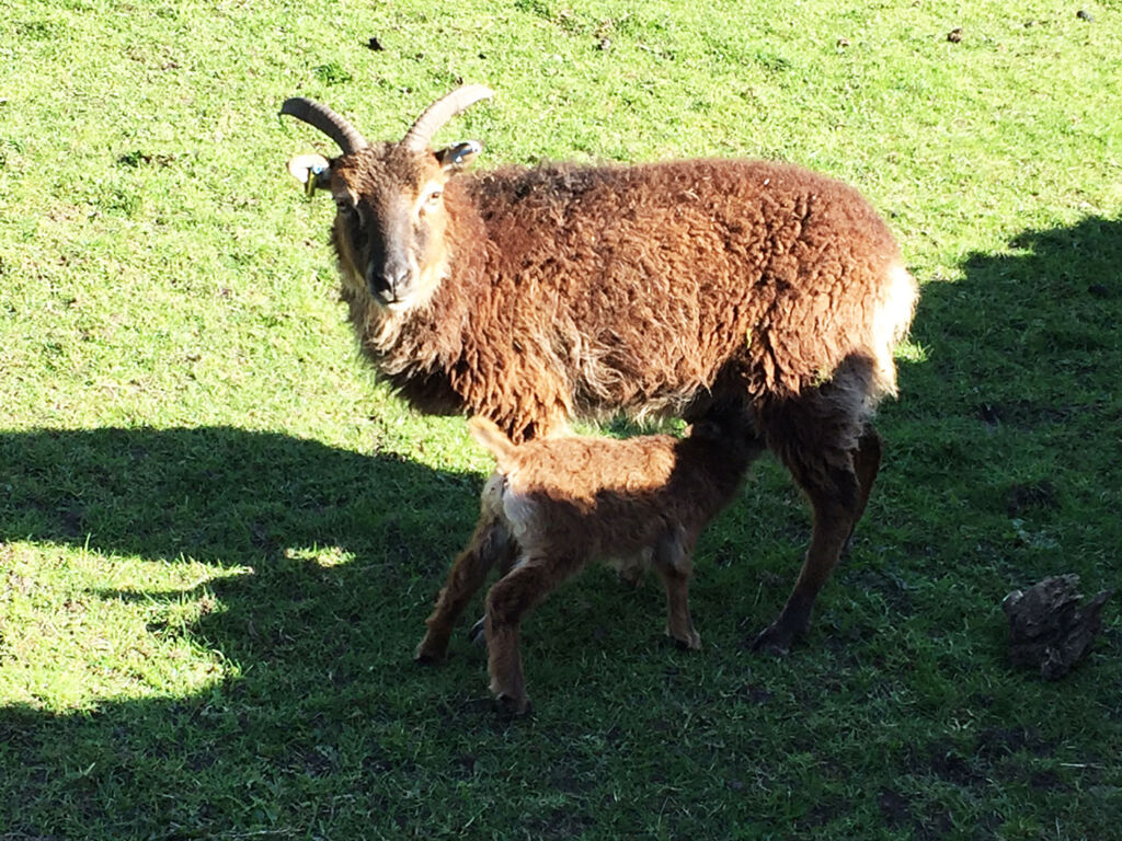 A Soay sheep with its lamb