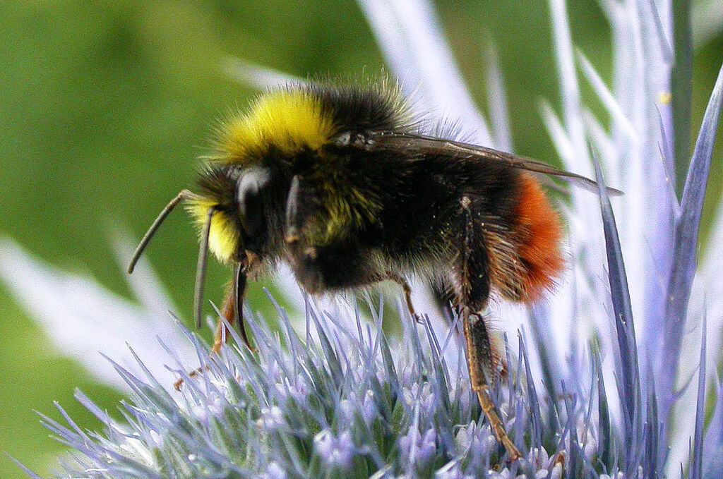Lovell Steps Forward to Help the Plight of Britain's Bumblebees