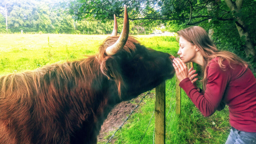 My wife saying hello to a Highland cow in Scotland
