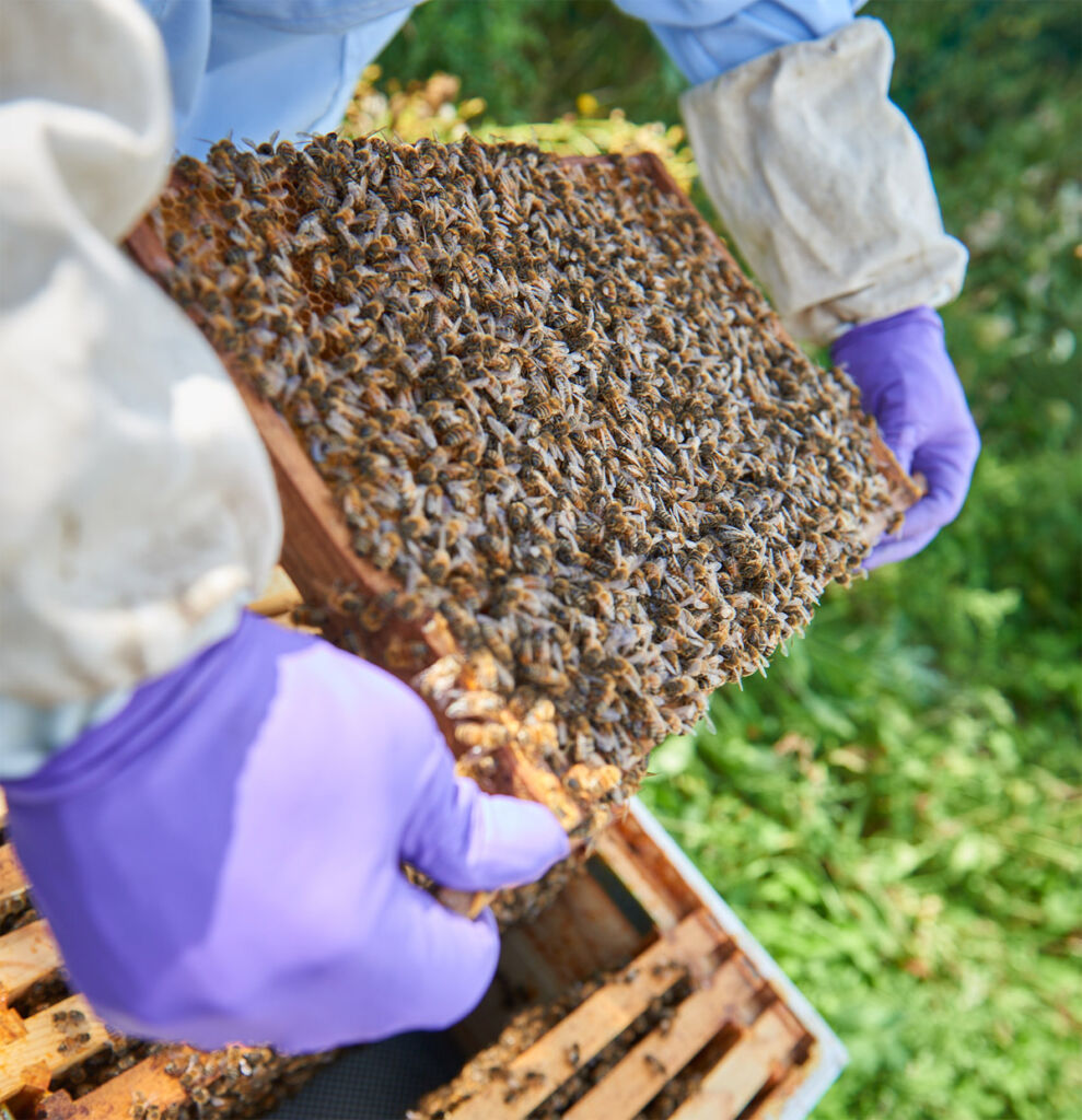 Bentley Motors' Flying Bees have Delivered their First Honey Harvest 3