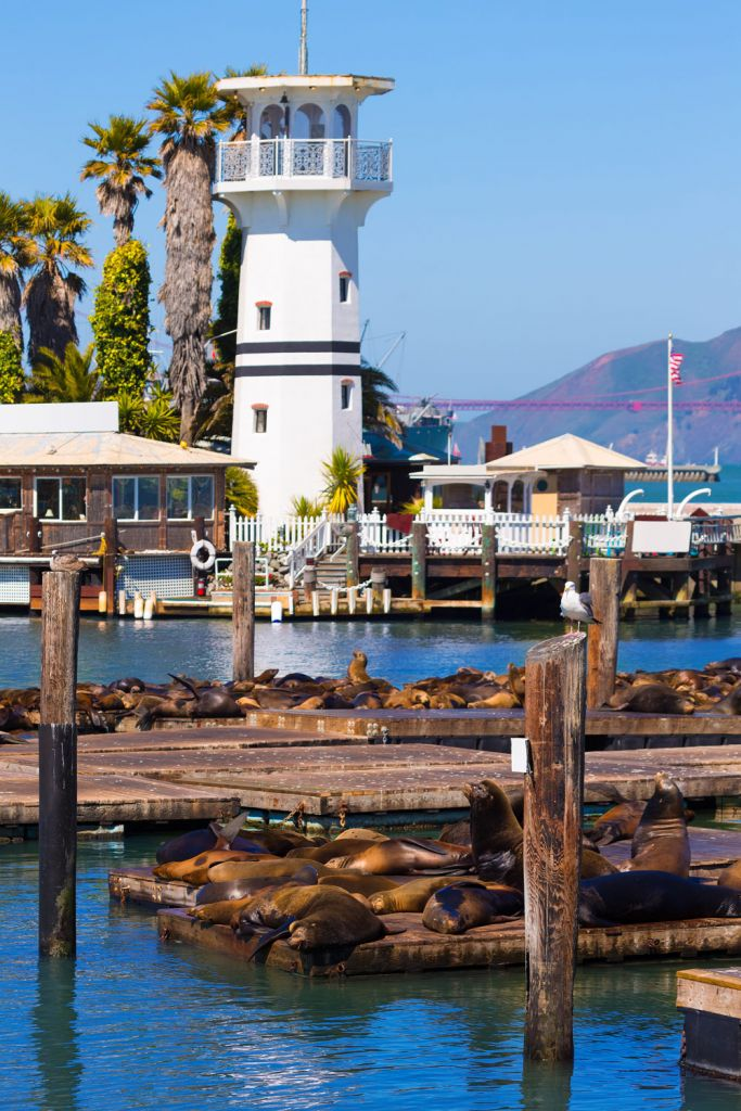 Male Californian sea lions can grow up to 800 pounds.