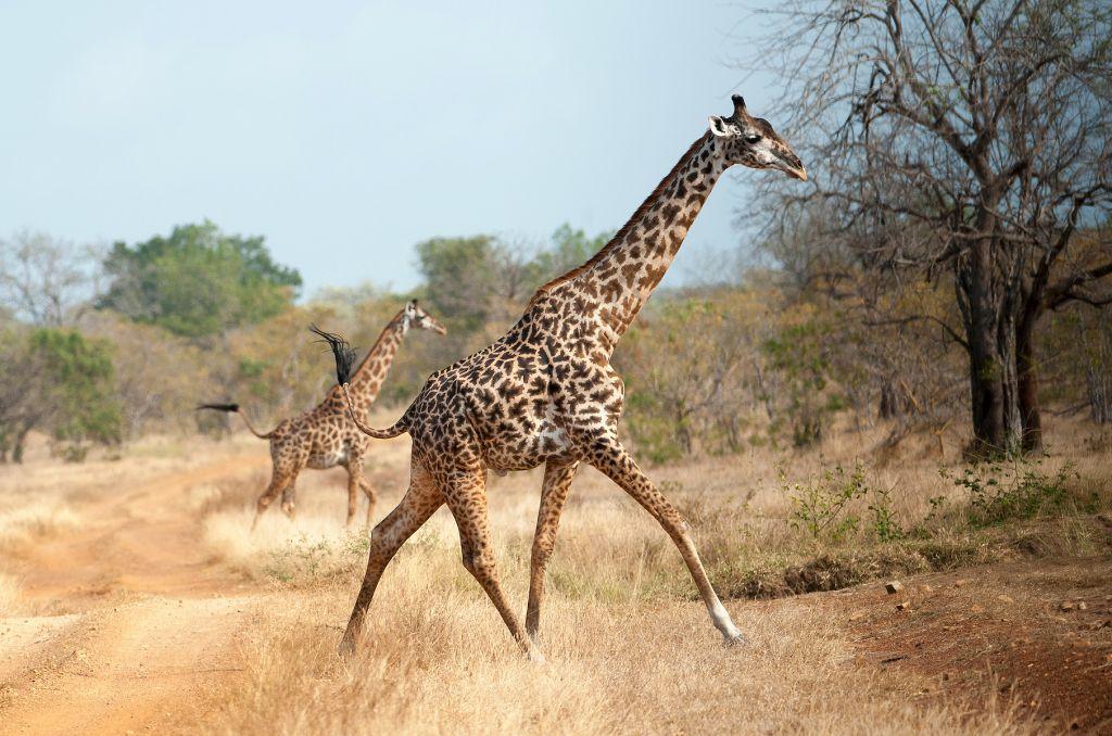 Giraffe's running across the road on the Southern cross Safari