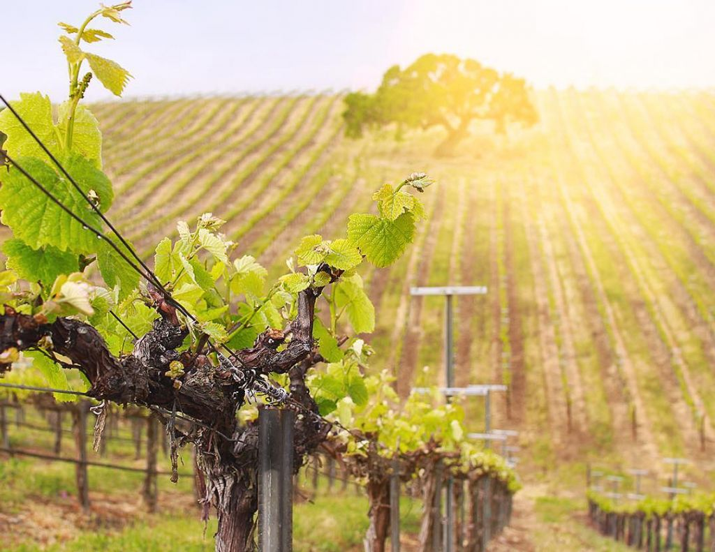 Sun drenched vineyard in the Tri-Valley California