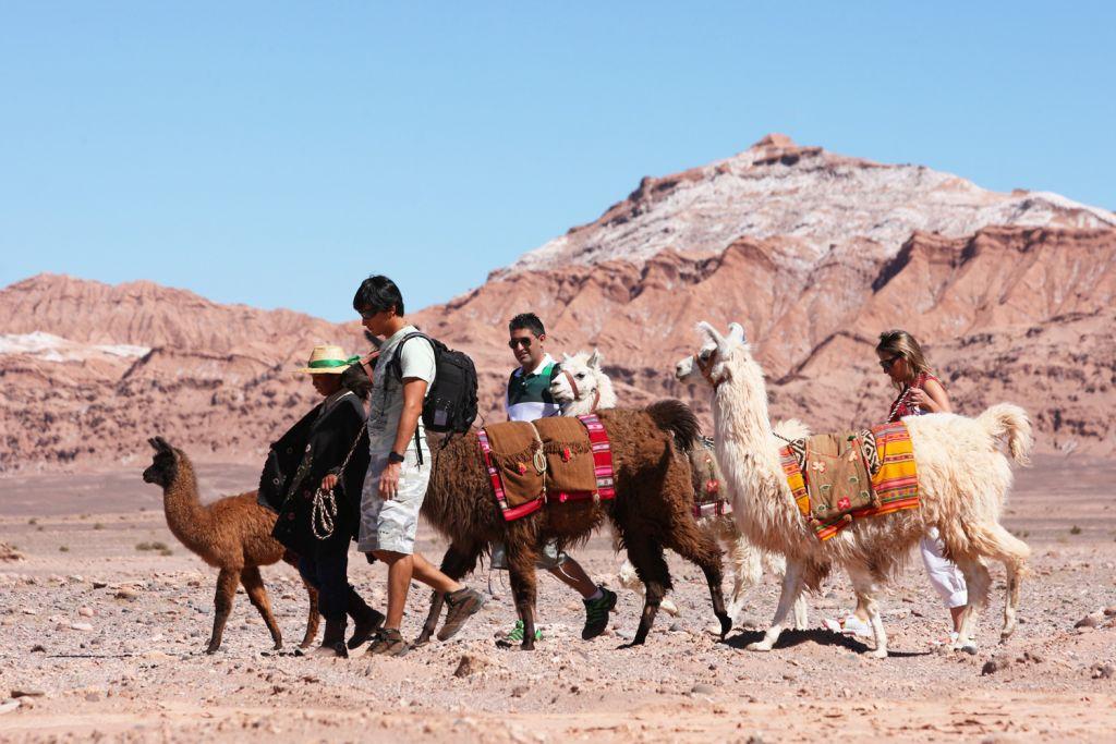 Llamas, Guanacos, Vicuñas and Alpaca