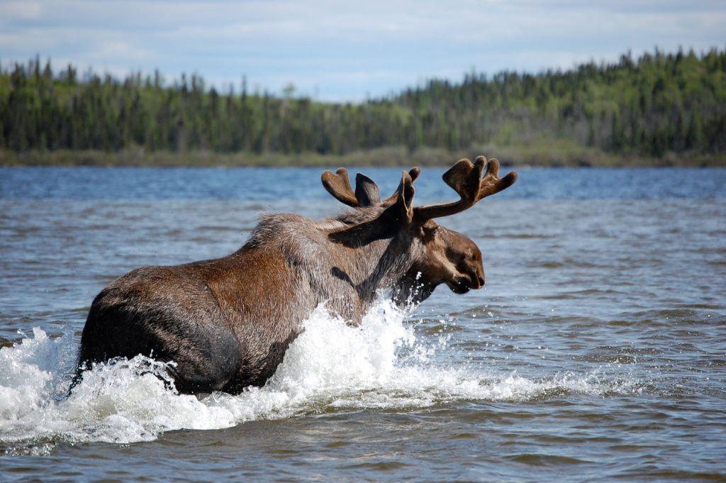 Moose swimming in Manitoba Canada