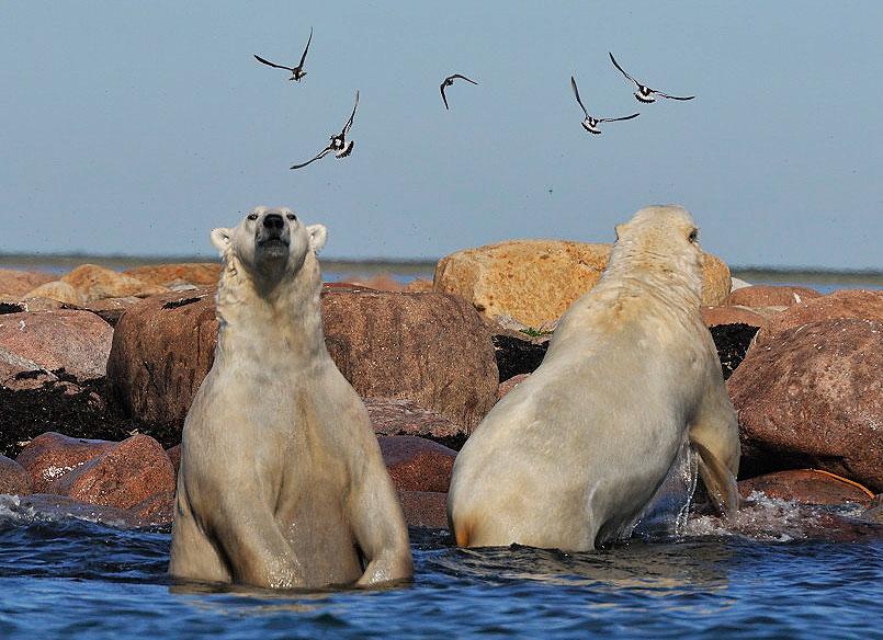 Polar bear spotting in Manitoba Canada