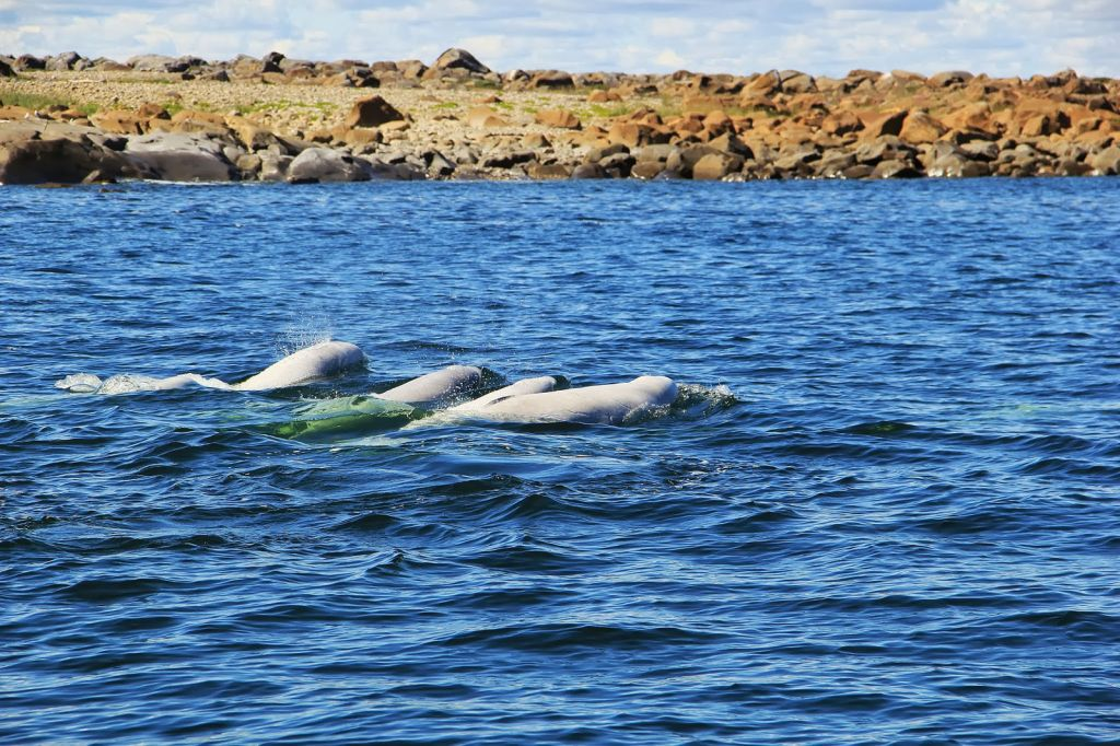 Watching and listening to Churchill's beluga whales