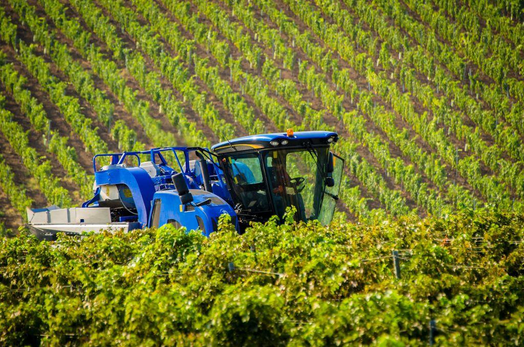 Cramele Recas harvest in Romania