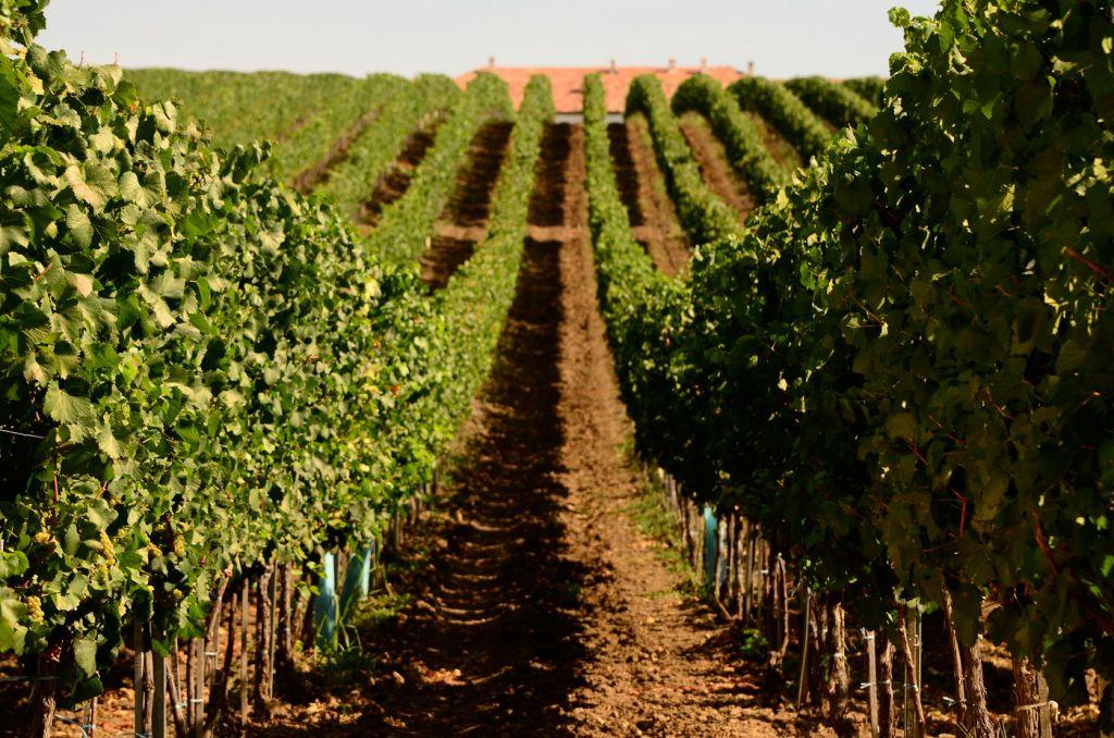 Cramele Recas vineyards