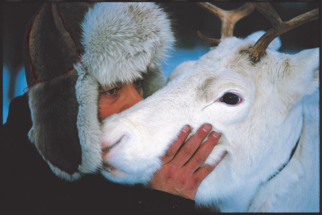 Meeting a reindeer in Swedish Lapland
