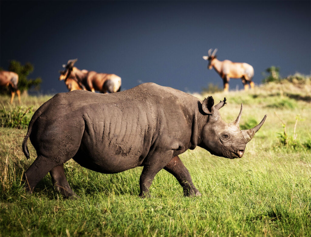 A black Rhino on an African Safari