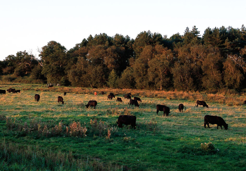 Cattle in a field by Fritton Lake