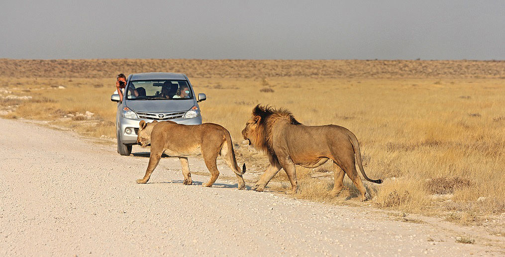 Lion Spotting by car in Etosha Namibia