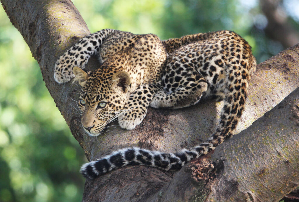 A leopard waiting in a tree