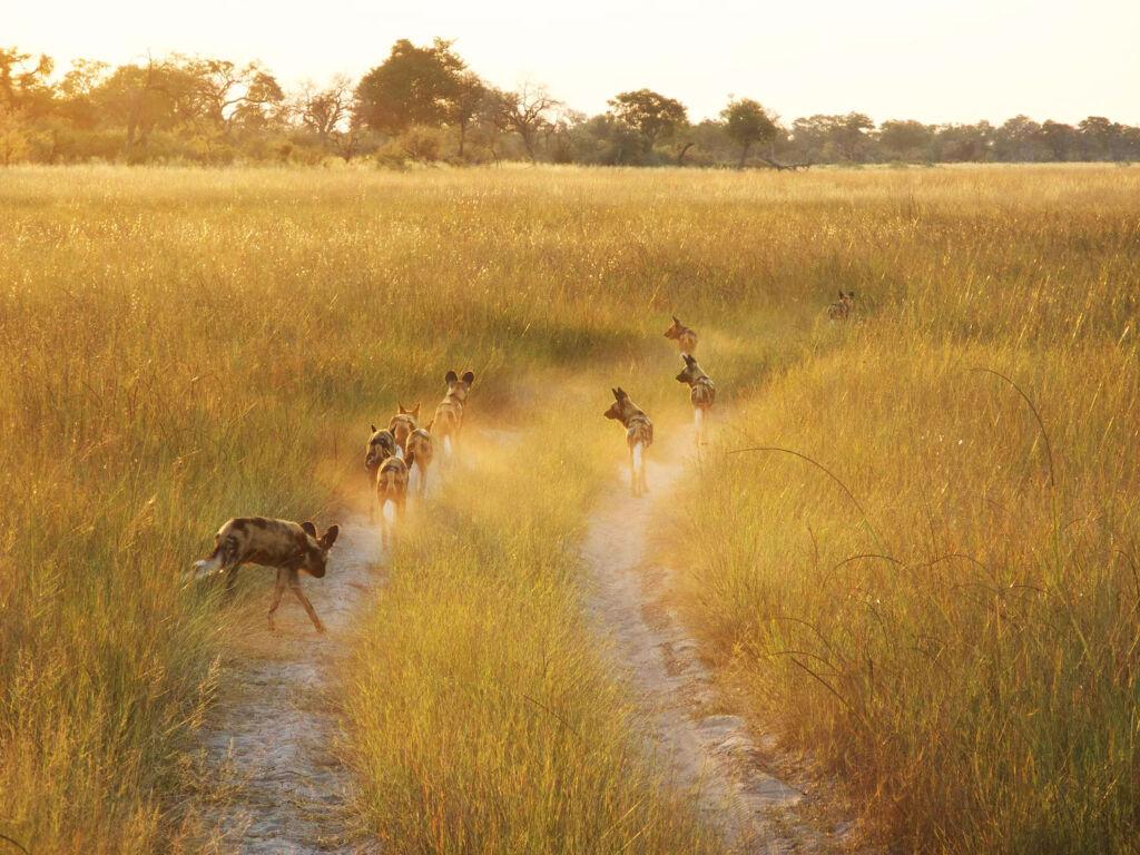 Watching Wild dogs on an African Safari