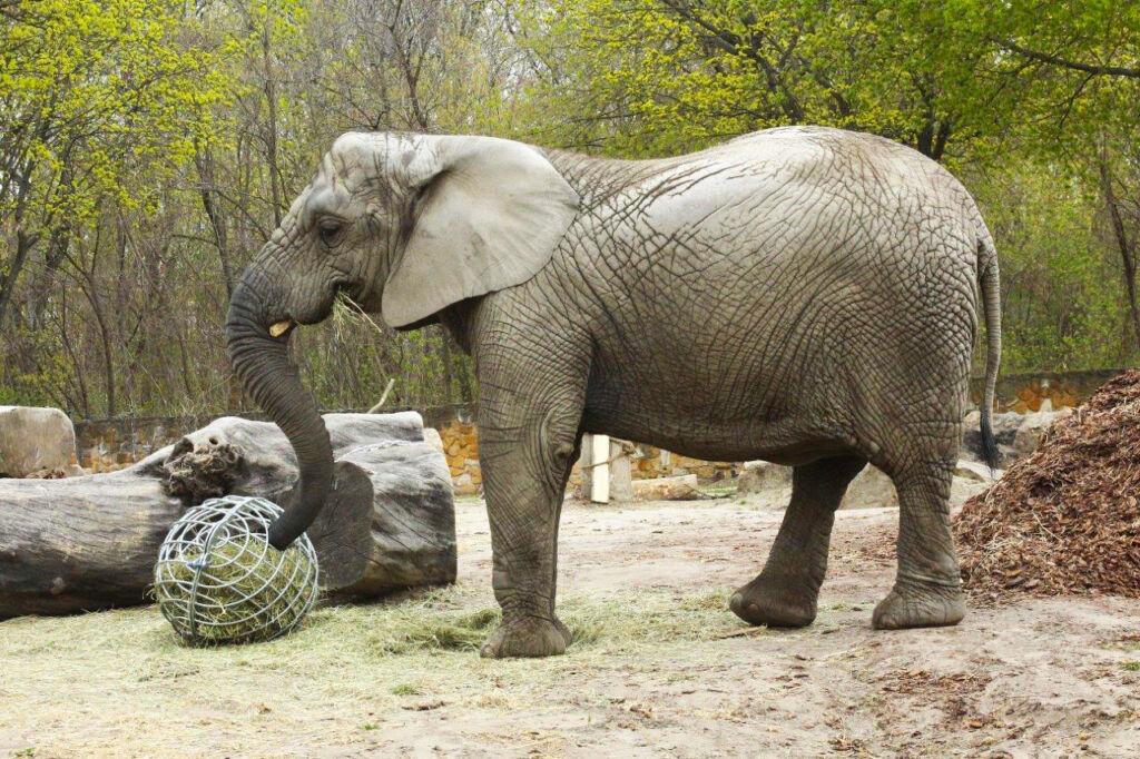 Fredzia the Elephant at Warsaw Zoo