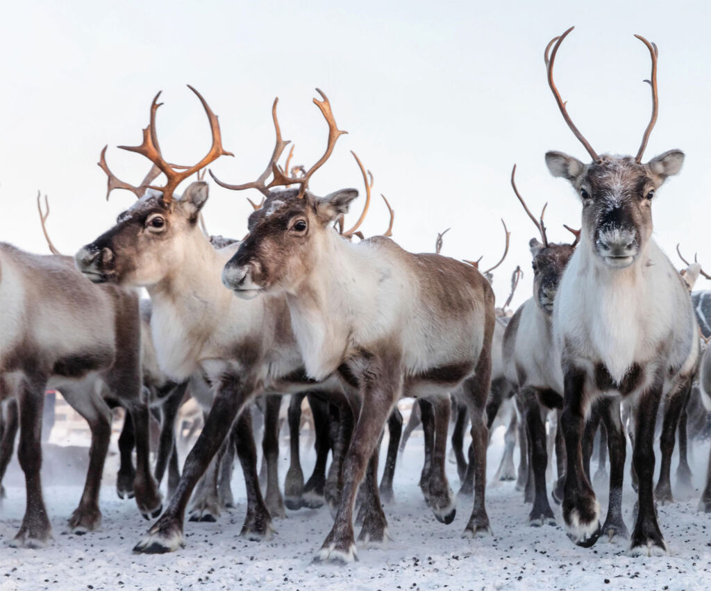Herd of wild reindeer in Swedish Lapland