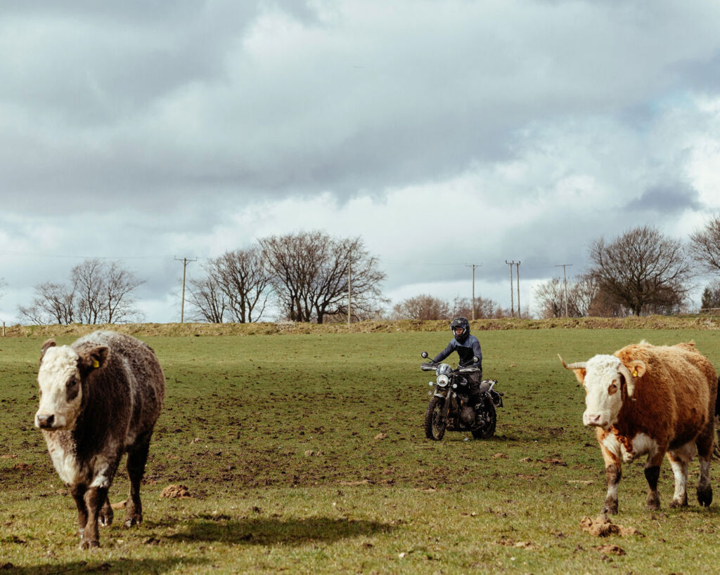 Tasmin herding sheep on a Triumph Scrambler