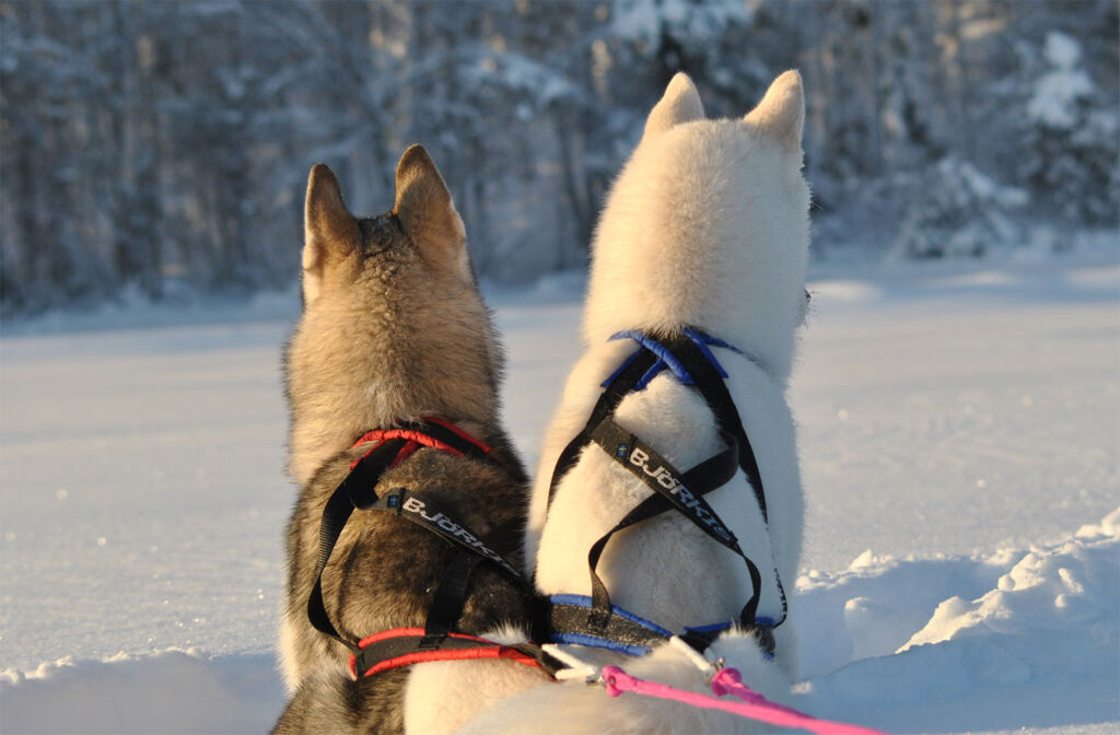 Husky sled ride in the snow in Northern Sweden
