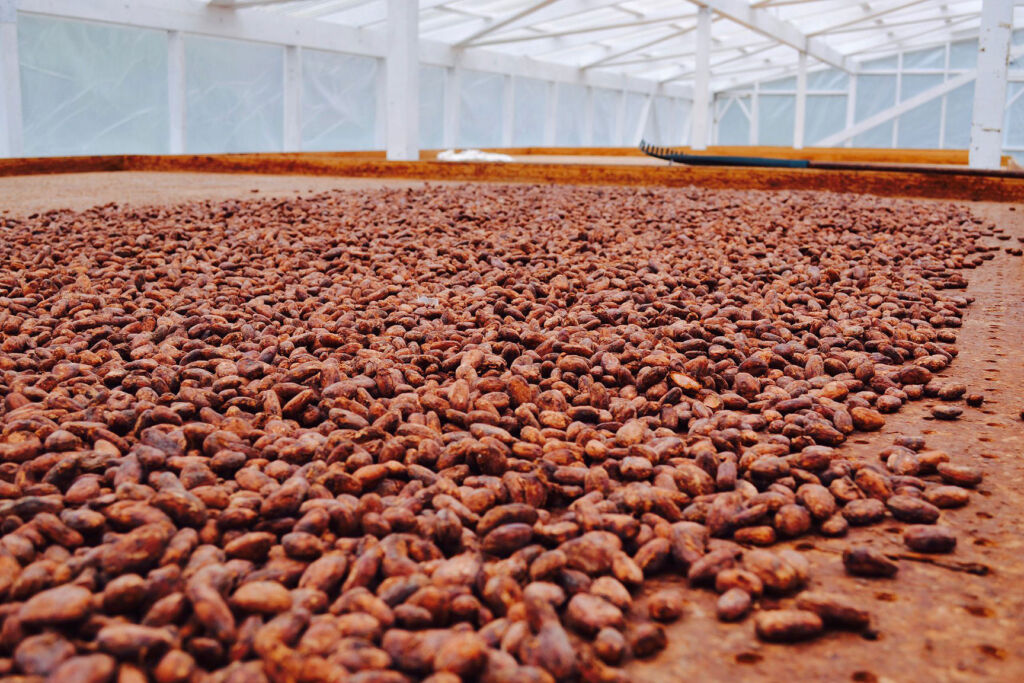 Cocoa seeds being dried in a greenhouse