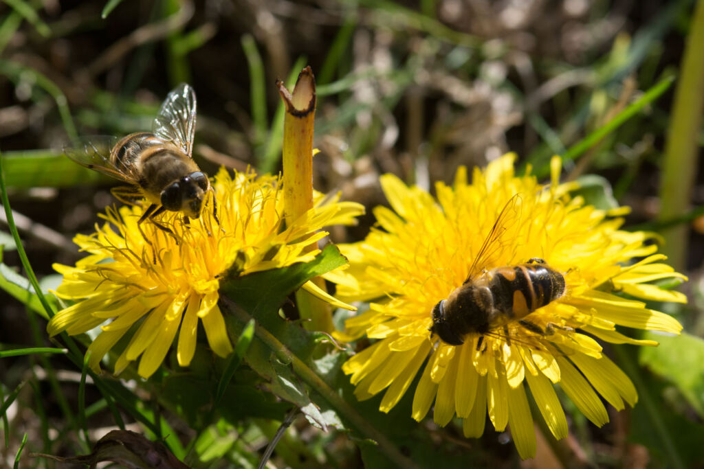 Two bees feeding from some yellow wildflowers