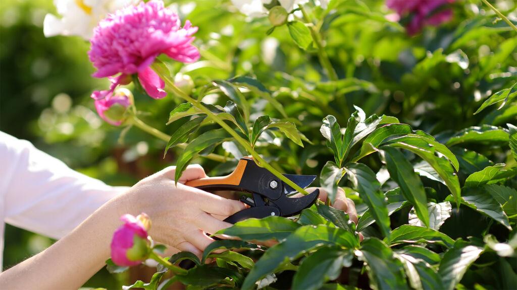 Shannen Godwin pruning flowers in the garden