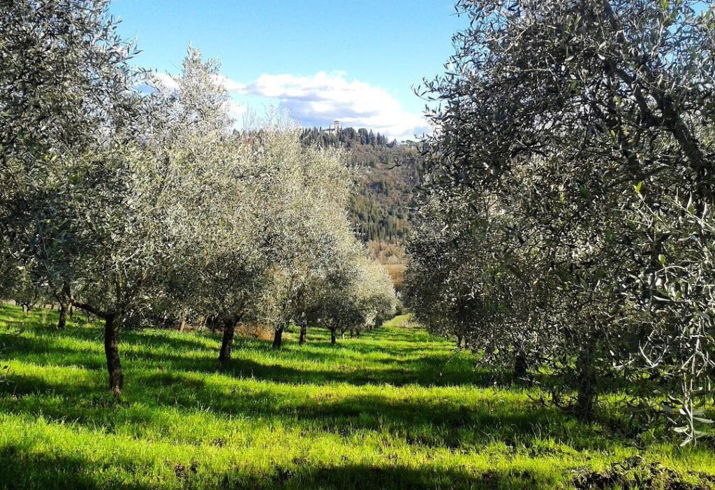 A view of their well stocked olive groves