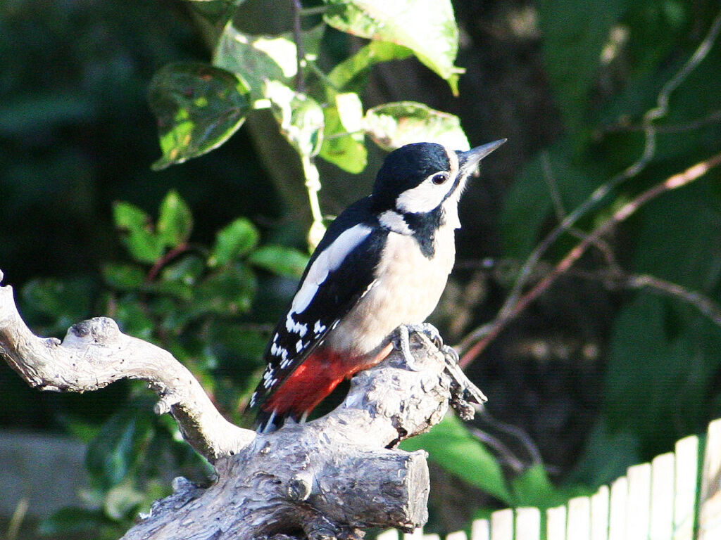 A great spotted woodpecker photographed in our garden in Lancashire