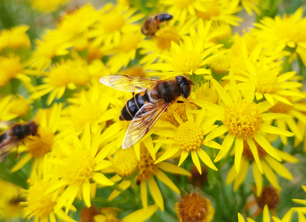 Bees gathering pollen from some wild yellow flowers