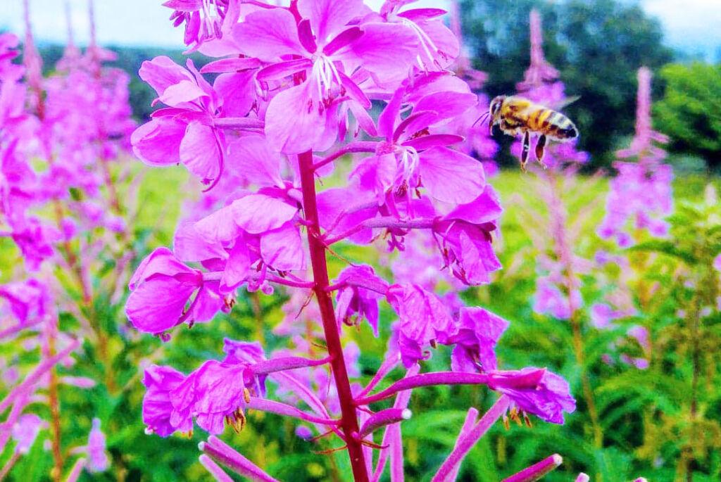 A bee in flight heading towards some wild purple flowers