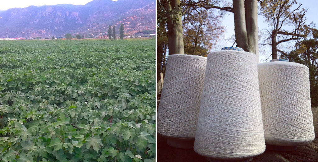 Fields of Gossypium Barnadense and the finished yarn