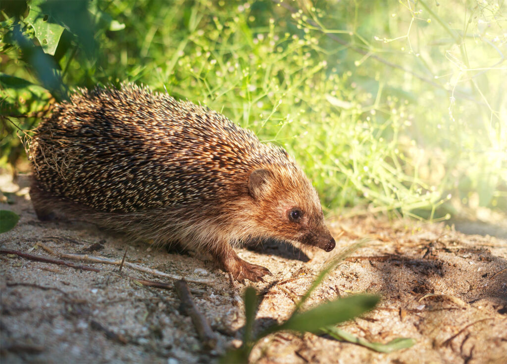 It is an honour to bring wildlife species such as hedgehogs into your garden