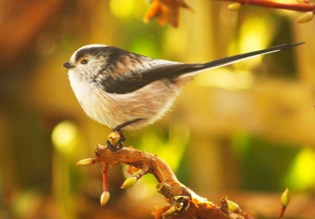 A long tailed tit in our garden