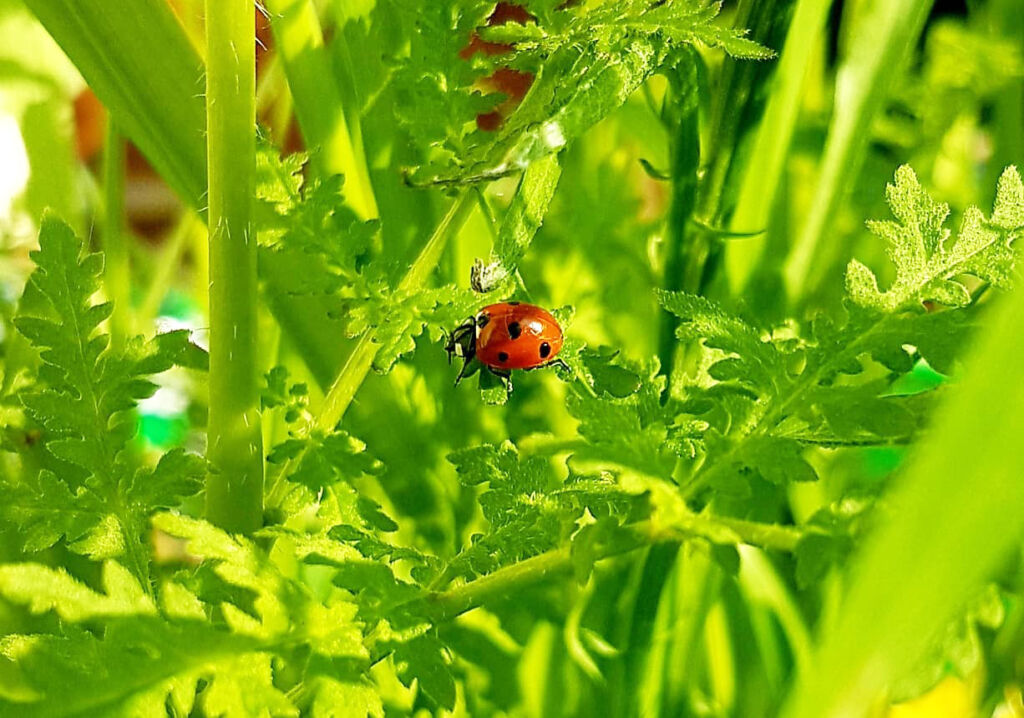 Red ladybird on plants in a English garden
