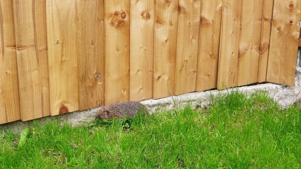 A hedgehog foraging in our garden