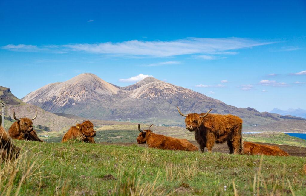 Highland cattle enjoying the sunshine on the Isle of Skye. Photo by Piotr Musiol.