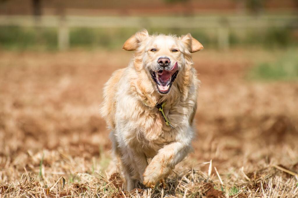 A Golden Retriever running at top speed